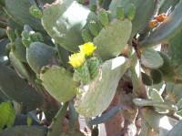 CactusIsrael