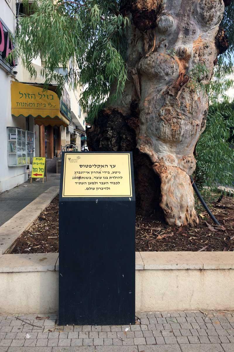 Primer árbol, calle Yaakov